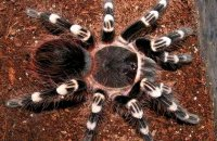 Acanthoscurria theraphosoides
