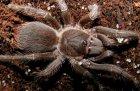 Acanthoscurria insubtilis