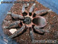Acanthoscurria musculosa