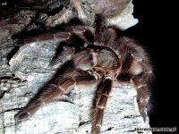 Acanthoscurria sternalis
