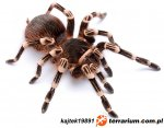 Acanthoscurria