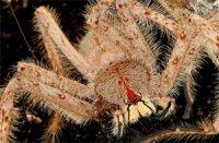 Heteropoda davidbowie