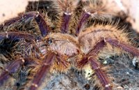 Lampropelma violaceopes