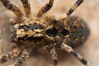 Lycosa tarantula - tarantula włoska