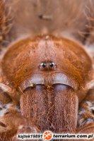 Pelinobius muticus