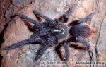 Phormictopus